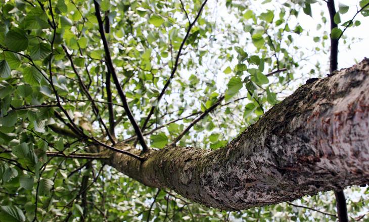 drzewolazy